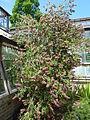 Callistemon 'Violaceus' (Myrtaceae) plant.JPG