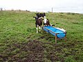 Calves, Scrahanyleary - geograph.org.uk - 270913.jpg