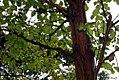 Calycophyllum candidissimum 2zz.jpg