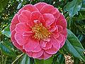 Camellia at Penjerrick.jpg