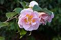 Camellia japonica - Jardin Albert Kahn.jpg