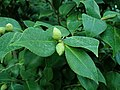 Camellia sinensis 2018-11-07 4397.jpg