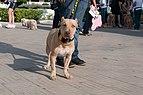 Caminata por los perros y animales Maracaibo 2012 (33).jpg