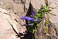 Campanula chamissonis 18.jpg