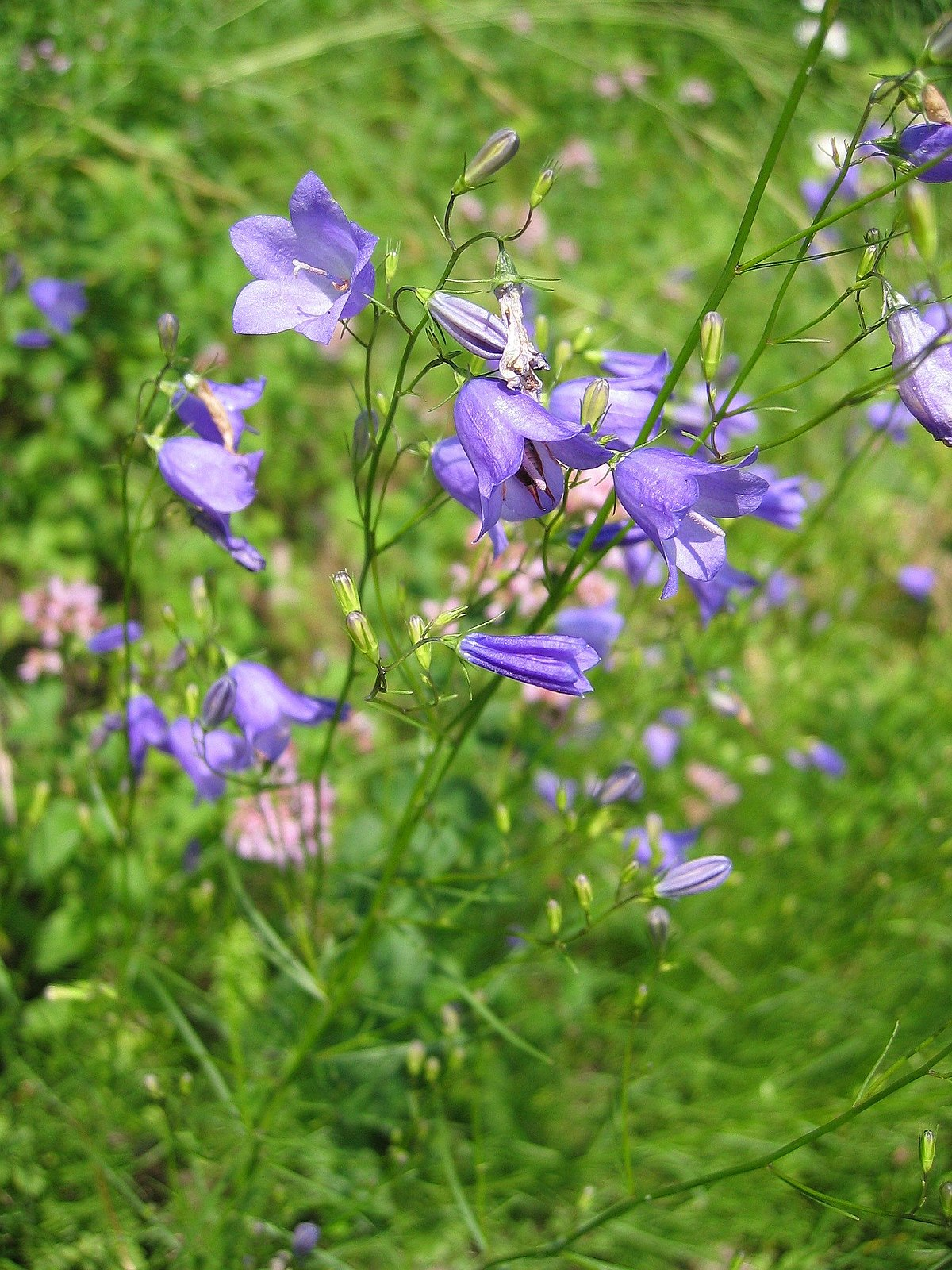 campanula rotundifolia wikipedia. Black Bedroom Furniture Sets. Home Design Ideas