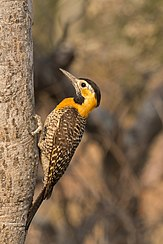 Campo flicker (Colaptes campestris) female.JPG