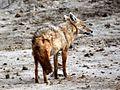 Canis anthus Tanzania Safari.jpg