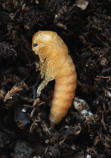 Fichier:Cantharis pupa.jpg
