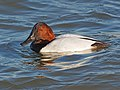 Canvasback - Aythya valsineria, Cambridge, Maryland (38466385965).jpg