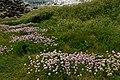 """Cap Gris-Nez - Côte d'Opale - View SW on abundance of Armeria maritima- """"Thrift"""", """"Sea thrift"""", """"Sea pink"""" - """"Engels Gras"""".jpg"""