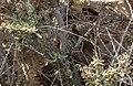 Cape cobra hiding in bush (37710992872).jpg