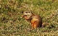 Cape ground squirrel, Xerus inauris, at Krugersdorp Game Reserve, Gauteng, South Africa (27205058210).jpg
