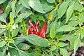 Capsicum annuum Thai Hot 1zz.jpg