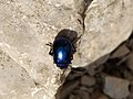 Carabidae, Coleoptera 03.jpg