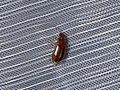 Carabidae sp. (42945835085).jpg