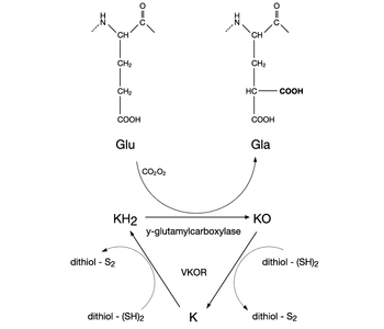 Carboxylation reaction vitamin K cycle.png