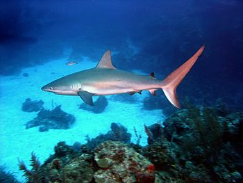 Caribbean reef shark (Carcharhinus perezi) in ...