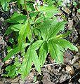 Cardamine bulbifera3 W.jpg