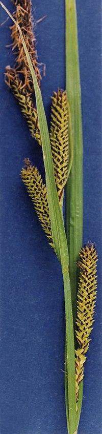 Carex aquatilis NRCS-2