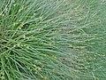 Carex echinata kz02.jpg