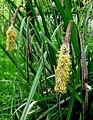 Carex pendula inflorescens (2).jpg