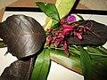 Caricature plant (Graptophyllum pictum) in circumcision ceremony.jpg