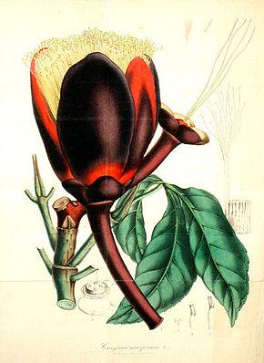 Souarinussbaum, auch Butternuss genannt, (Caryocar nuciferum), Illustration.
