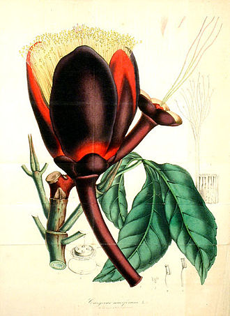 Charles Antoine Lemaire - Caryocar nuciferum L. Flore des Serres et des Jardins de l'Europe
