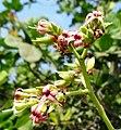 Cashew flower - panoramio.jpg
