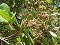 Cashew nut tree Anacardium occidentale flowering Goa DSCF0333 (12).JPG