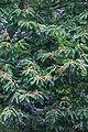 Castanea mollissima, Hangzhou Botanical Garden 2018.06.03 15-38-29.jpg