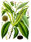 Castanea sativa - Köhler–s Medizinal-Pflanzen-173.jpg