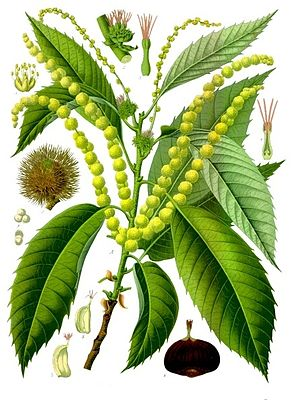 Edelkastanie (Castanea sativa), Illustration
