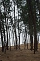 Casuarina Plantation - New Digha Coast - East Midnapore 2015-05-02 8903.JPG