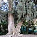Casuarina cunninghamianа bark and twigs.jpg