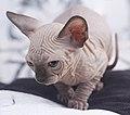Cat - Sphynx. img 044.jpg