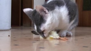 File:Cat eating day-old chick 02 (1) ies.ogv