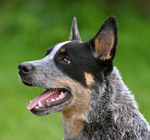 Australian Cattle Dog - Black mask and tan markings on a blue dog
