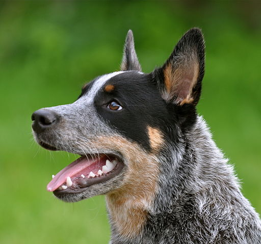 Cattledog Little Joe