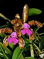 Cattleya tigrina Orchi 005.jpg