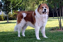 Large heavy set dog standing in front of trees. Medium length thick hair, white base with orange/brown spots on back and top of head. Reminiscent of a Saint Bernard.