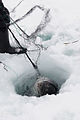 Caught seal in hole.jpg