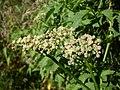 Cayratia clematidea flowers 1.jpg