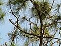 Cedar waxwings 02.JPG