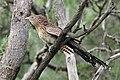 Centropus phasianinus -Daintree, Queensland, Australia-8 (1).jpg