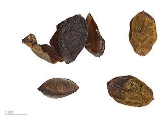 Cephalotaxus fortunei - Cephalotaxus fortunei - MHNT