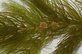 Ceratophyllum demersum (inflorescence).jpg