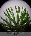 Ceratophyllum demersum s. str. sl5.jpg