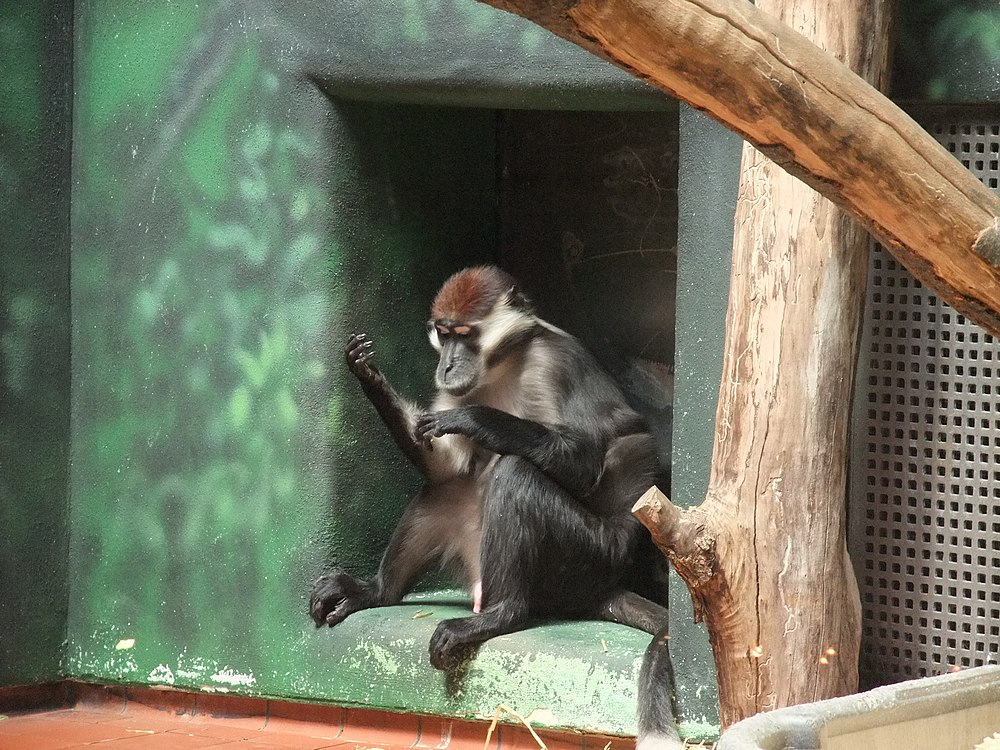 The average adult size of a Collared mangabey is  (2' 2