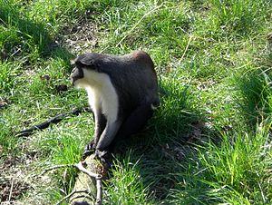 Diana monkey - Image: Cercopithecus diana profile